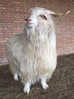 Kaşmir Kumaş Yapılmak İçin Bu Fotoğraftaki Keçinin Yünlerini Toplamaktadırlar.