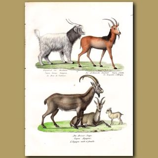 Kaşmir Keçi Tüyü Bu Hayvanlardan Alınıp Yapılır.